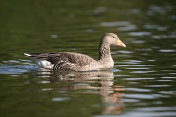 Greylag Goose in the flight.
