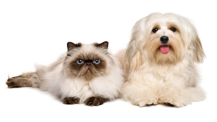 Happy havanese dog and a young persian cat lying together