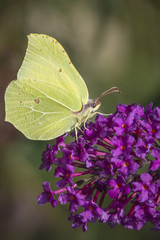 Common brimstone butterfly on Buddleja