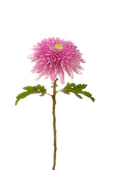 flower  pink  chrysanthemum