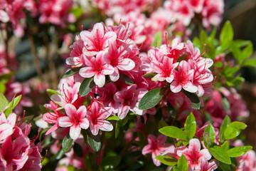 In de dag Azalea A blooming azalea