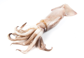 freshly caught squid on white background