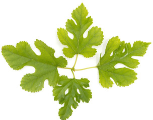 mulberry leaves on a white background