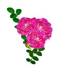 Dog rose (Rosa canina) flowers on a white background