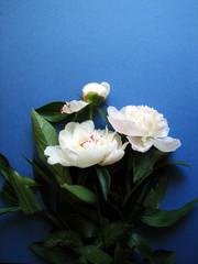 Fresh white peony  flower