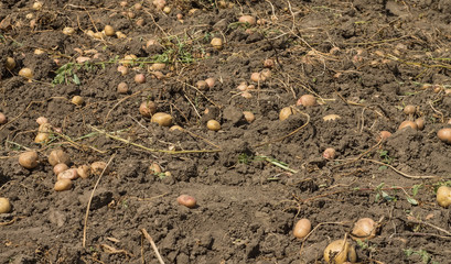 potatoes scattered over the field
