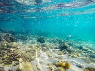 cormorant hunting underwater in Sardinia