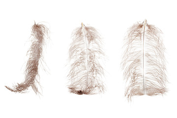 Ostrich feather plume isolated on white background