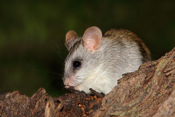 An Acacia tree rat (Thallomys paedulcus) sitting in a tree, South Africa.