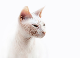 Sphinx cat emotional portrait