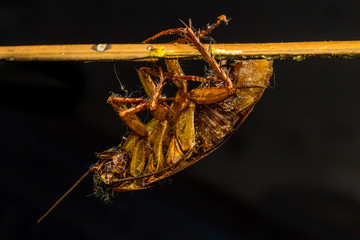 Close up  of a dead cockroach