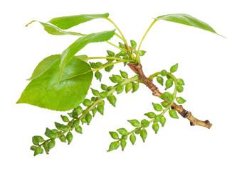 poplar branch