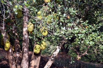 Wall Mural - large sized jackfruit fruits on a tree in a farm in India