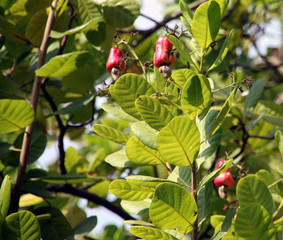 Fresh, juicy, red cashew fruits with nuts, hanging on a tree in a cashew farm
