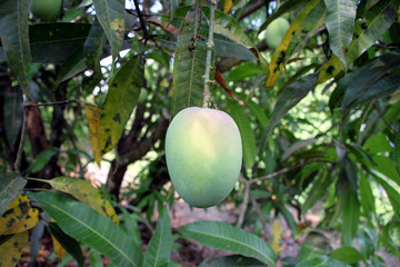 Wall Mural - large green mango with reddish tinge, hanging on a tree. It's about get ripe on a tree itself. Will certainly be a superb taste!