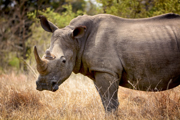 A white rhino standing in the African savanna