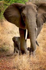 Baby elephant and its mother in the Kruger National Park