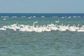 Mute swans on Black Sea