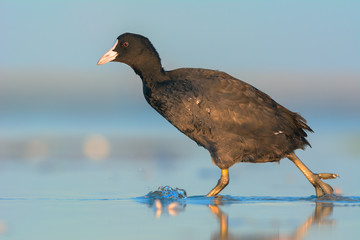 Coot is walking