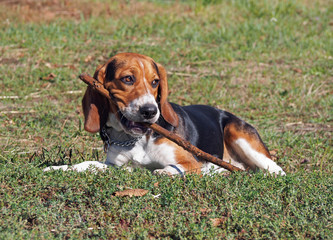 Puppy of breed of beagle lay on a  green lawn