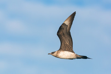 Parasitic jaeger in flight
