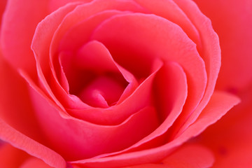Close-up of a beautiful pink rose filling up the whole frame