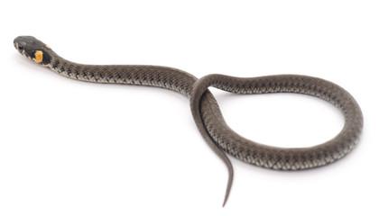 Little snake.
