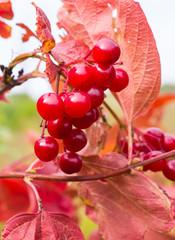 Rowanberry in autumn