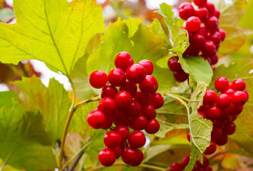 Rowanberry in autumn