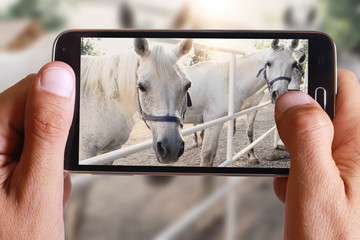 Male hand taking photo of white horses with cell, mobile phone.