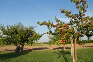 Apfelbaum jung