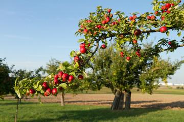 Apfelbaum rot