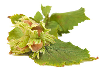 Hazel nuts or Corylus avellana with leaves isolated on a white