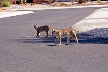 Bobcats - loss of Habitat