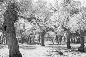 Forest in black and white image in inner mongolia