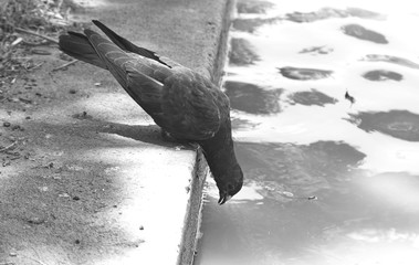 Pigeon looking for food