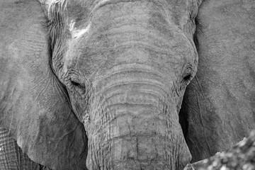 African Bush Elephant Portrait