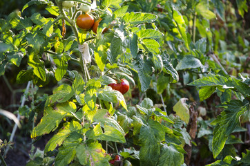 tomatoes in rhe nature garden