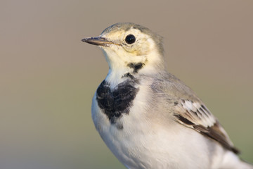 White wagtail portrait
