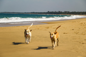 Hunde am Strand, Sri Lanka