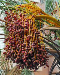 A bunch of dates on date palm