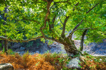 Rocks with moss and autumn in an old beech forest samothraki,greece
