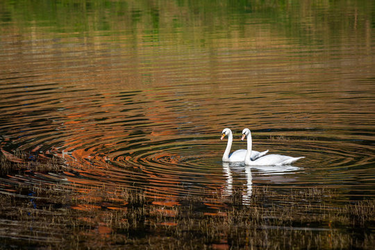 Two swans onthe lake with forest reflection