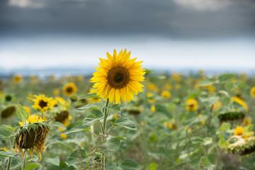 Fotoväggar - Sonnenblume - blühend und verblüht