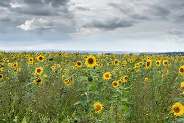 Fotoväggar - Sonnenblumen soweit das Auge reicht