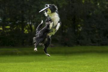 Hond vangt frisbee uit de lucht.