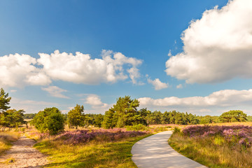 Blooming Dutch heathland with hiking and bicycle trail