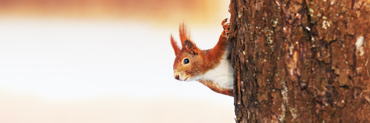 Poster Eekhoorn Red Squirrel (Sciurus vulgaris) in winter