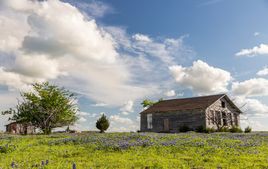 Texas bluebonnet field and old barn in Ennis.