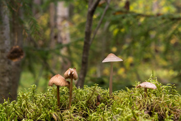 Three edible mushroom in the forest on moss and trees